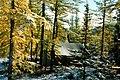 Larix sibirica Urals2.jpg