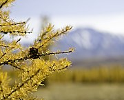 Larix sibirica with golden foliage.jpg