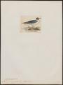Larus poiocephalus - 1820-1860 - Print - Iconographia Zoologica - Special Collections University of Amsterdam - UBA01 IZ17900278.tif