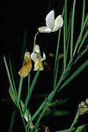 Lathyrus pannonicus1 eF