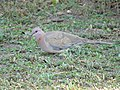 Laughing Dove Foraging 02.jpg