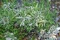 Lavandula angustifolia 10zz.jpg