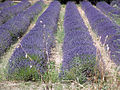 Lavender (17147416641).jpg