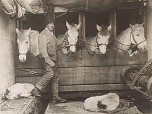 Lawrence Oates - Lawrence Oates tending horses during the Terra Nova Expedition