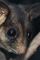 Leadbeater's Possum 01 Pengo.jpg