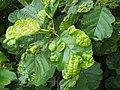 Leaf galls on alder - geograph.org.uk - 992685.jpg