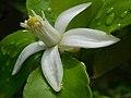 Lemon flower (Rutaceae).jpg