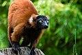 Lemur (36615011485).jpg