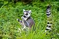 Lemur (36915672810).jpg