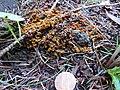 Leocarpus fragilis 31325082.jpg
