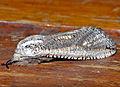 Leopard Goat Moth (Azygophleps inclusa) (12885109153).jpg