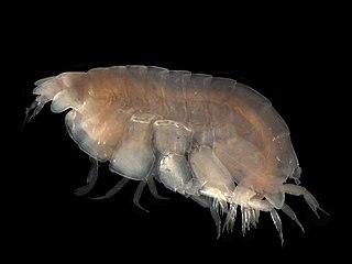 Lysianassidae family of crustaceans