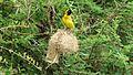 Lesser Masked Weaver (Ploceus intermedius) (6025706504).jpg
