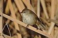 Lesser swamp warbler, Acrocephalus gracilirostris, at Marievale Nature Reserve, Gauteng, South Africa (40722474830).jpg