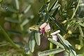 Lessertia benguellensis-2153 - Flickr - Ragnhild & Neil Crawford.jpg