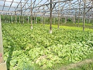 Lettuce farm-impasug-ong.JPG