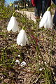 Leucojum tingitanum (Snowflake) Porches Portugal 08.03.16 (25325364700).jpg