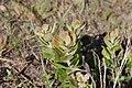 Leucospermum innovans 15692113.jpg