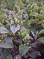 Leutratal-Aristolochia-clematitis-2459.jpg