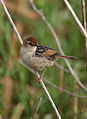 Levaillant's Cisticola, Cisticola tinniens at Marievale Nature Reserve, South Africa (23666130183).jpg