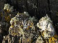 Lichens near Kelly's Cove - geograph.org.uk - 1169093.jpg