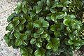 Ligustrum jap Rotundifolium A.jpg