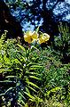 Lil monadelphum var armenum 01Hab Tuerkei Ziganapass 30 06 93.jpg