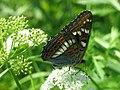 Limenitis populi - Poplar admiral - Ленточник тополёвый (27269903998).jpg