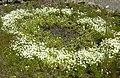 Limnanthes vinculans 5.jpg