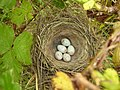 Linnet Nest 22-06-12 (7421783334).jpg