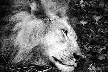 Lion Sleeping.jpg