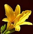 Lirio amarillo - Azucena amarilla (Hemerocallis lilioasphodelus) (14229223879).jpg