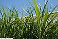 Liriope spicata 1zz.jpg