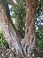 Litchi sinensis trunk.JPG