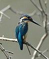 Little Blue Kingfisher.jpg