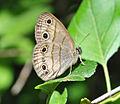 Little Wood-Satyr (Megisto cymela) (9090383432).jpg