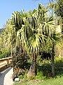 Livistona chinensis - Val Rahmeh - DSC04268.JPG