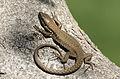 Lizard - Kertenkele 02.jpg