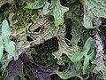 Lobaria macaronesica C. Cornejo & Scheid 407121.jpg