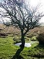Lone hawthorn - geograph.org.uk - 671697.jpg