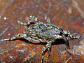 Long-legged Weevil (Curculionidae)(Id?) (13697420474).jpg