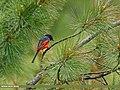 Long-tailed Minivet (Pericrocotus ethologus) (27291279704).jpg