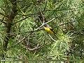 Long-tailed Minivet (Pericrocotus ethologus) (34960776996).jpg