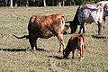 Longhorn Cattle 0002 (3935424260).jpg