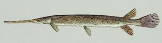 Ichthyotoxin - Longnose Gar- a species of fish whose roe contains ichthyotoxins.