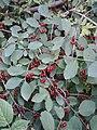 Lonicera xylosteum Fruit.jpg