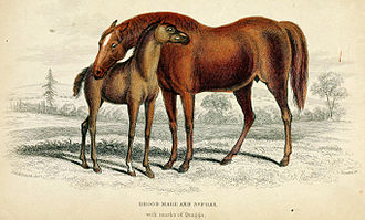 Lord Morton's mare - The mare with the subsequent foal