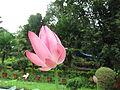 Lotus - താമര 03.JPG