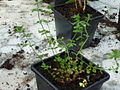 Lotus corniculatus young plant 2.JPG