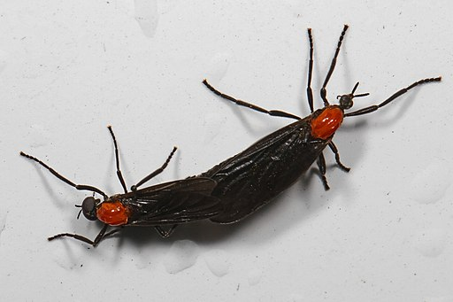 Love Bug - Plecia nearctica, Okaloacoochee Slough State Forest, Felda, Florida